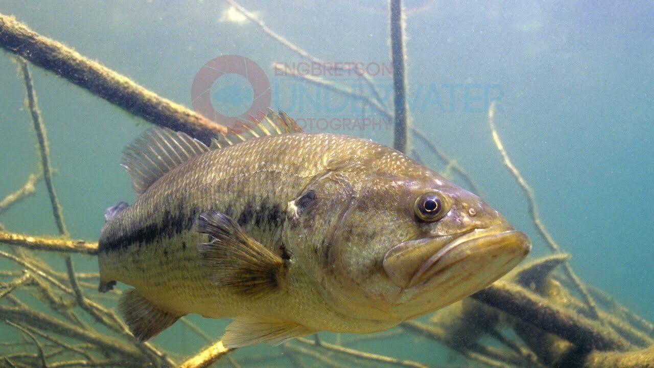 Bass Underwater Footgage: Largemouth Bass Under Large Pine ... Largemouth Bass Pictures Underwater