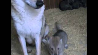 Домашние волчата!!! Продаются щенки породы чехословацкий влчак. 8-926-345-88-66