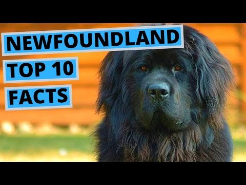Newfoundland Dog - TOP 10 Interesting Facts