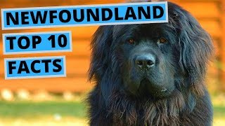 Newfoundland Dog  TOP 10 Interesting Facts