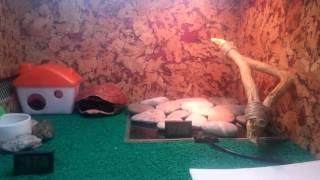Заселение игуаны,  молочки,  и эу,  доработанный терр.