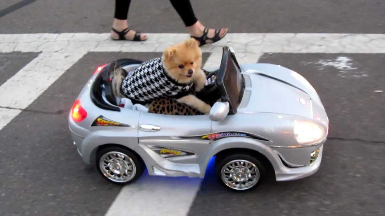 Pimpin Pomeranian Driving Car Through San Diego Youtube