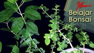 Mengenal Pohon Sancang (Premna Microphylla) untuk Bonsai