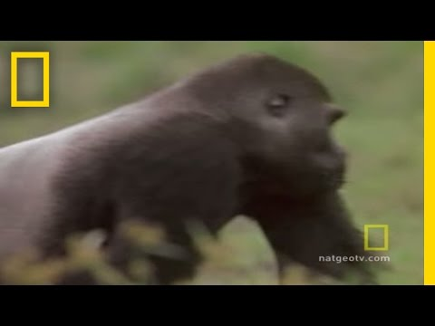 Gorilla vs. Gorilla | National Geographic
