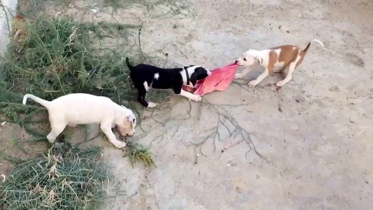 Cuccioli Di Pitbull Giocano 2013 Youtube