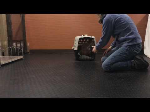 Lewis Manor Labradoodles Puppy Training: Annie
