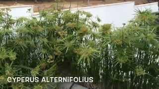 Cyperus alternifolius. Garden Center online Costa Brava - Girona.(Cyperus alternifolius. Garden Center online Costa Brava - Girona. Web: http://personalgardenshopper.es/, 2014-06-08T10:54:07.000Z)