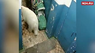 видео: На Новой Земле введён режим ЧС из-за нашествия белых медведей