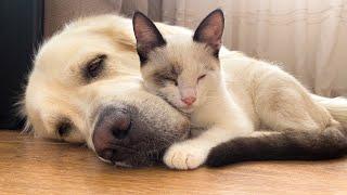 Golden Retriever and Kitten  True Love!