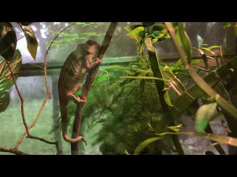 Baby Ambilobe Panther Chameleon - 3 months old