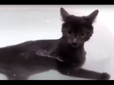 Bombay Cat Love to swim in bath tub