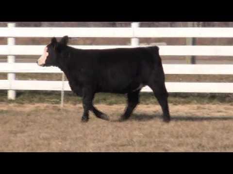 Roche Cattle Tag #7206