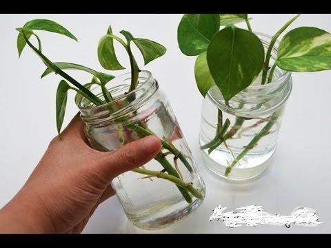 How To Grow Water Money Plant Gardening Sekho In Hindiurdu Not