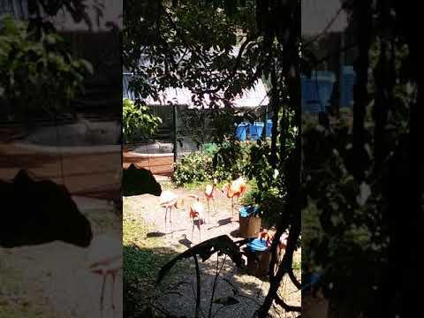 Caribbean flamingos fighting in Hong Kong