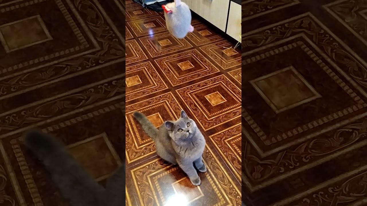 Британская кошка и мышка. - YouTube