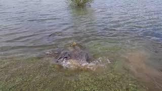 Pêche - Les carpes frayent - Camping Lac de Thoux St-cricq