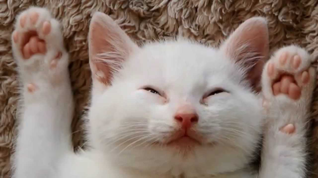 Kitty sleeps with Hands up Cute white kitten