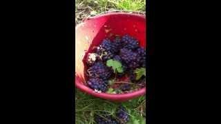 Leçon de vendanges ou comment couper le raisin - Champagne Marc Chauvet