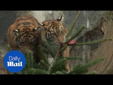 animals-at-berlin-zoo-are-served-a-feast-on-christmas-trees