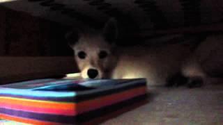 Hide And Seek Westie X Scottie Puppy