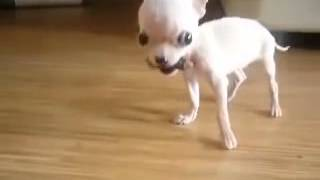 храбрый маленький щенок чихуахуа