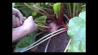 Beets How to grow Beets
