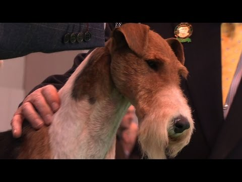 Crufts 2015 - Wire Fox Terrier - Open Dog