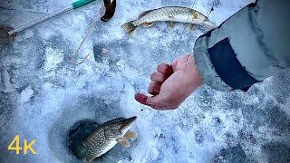 Щука на жерлицы в конце зимы. Зимняя рыбалка.