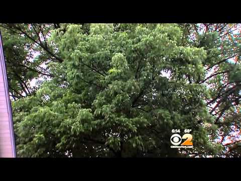 Plant Eating Pest Targets The New York Area
