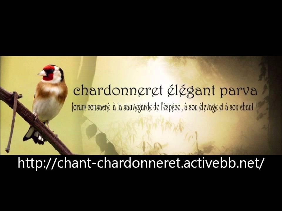 chardonneret et son chant
