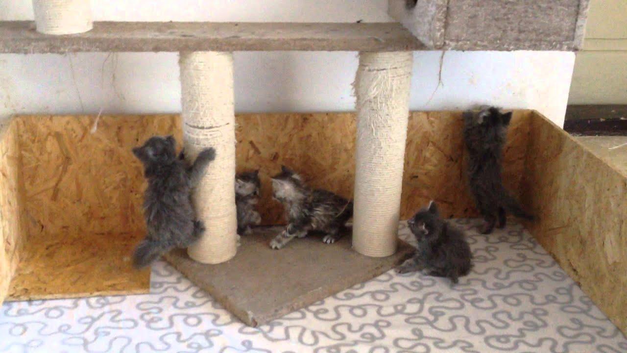 Mainská mývalí koťátka - Maine coon kittens