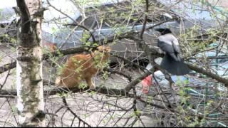 cat against two crows // кот против ворон
