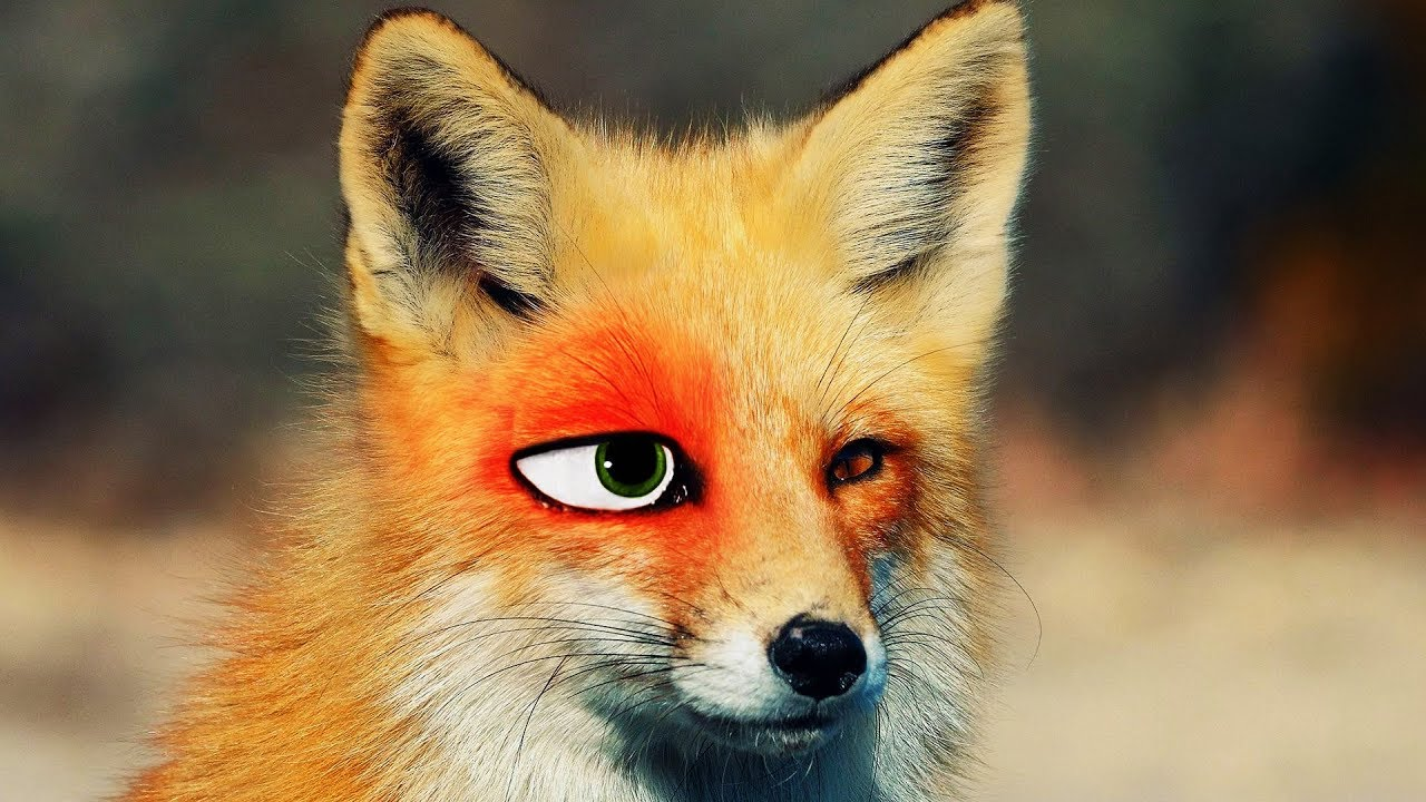 How to become a fox