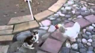 Chicken Peace Officers 2 chickens break up rabbit fight AMAZING flv