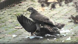 Repeat youtube video Sparrowhawk caught pigeon in garden *HD*