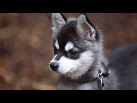 Аляскинский кли-кай, мини-хаски ZooPlace.ru