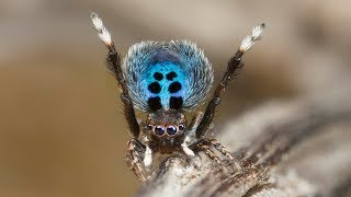 """Peacock Spider """"Stayin"""