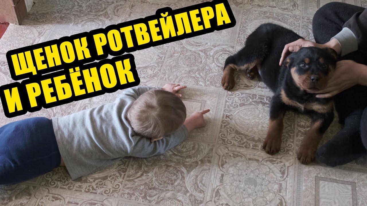 Реакция ребёнка на щенка ротвейлера.