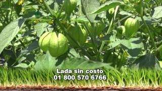 AgroScience, En un cultivo de Tomatillo o Tomate Verde.