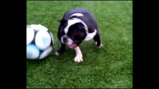 Собака играет в футбол (Николь)