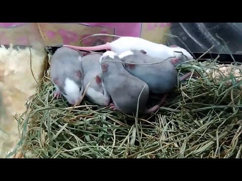 Rata adopta hámster, las crías de rata ya han abierto los ojos thumbnail