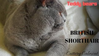 British Shorthair. Our blue girls - Delicja & Ducatti - sisters*Calmcat cattery British Shorthair