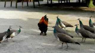 Peacock vs Brahma Rooster!