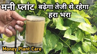 मनी प्लांट बढ़ेगा तेजी से रहेगा हरा भरा, Money Plant Magical Fertilizer, Care of Money Plant