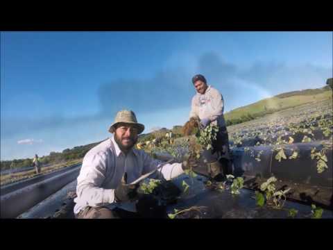 Strawberry Planting at Gala Berry, Omaha. new Zaland
