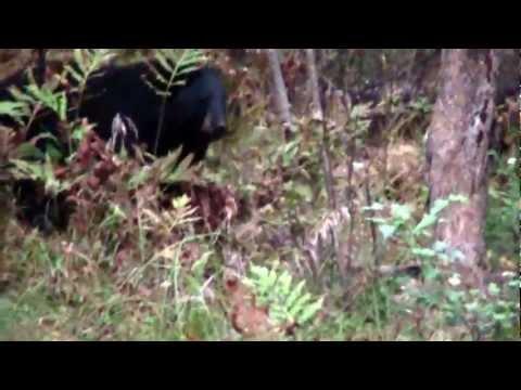 Black Bear Hunting. Maine, Bounty Hunter Guide Service
