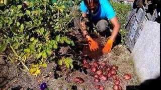 картофель озимый под сено и мох  1 часть(Это первая часть видео, в котором я показываю и рассказываю о своем опыте: выращивания озимого картофеля..., 2013-10-02T09:12:52.000Z)