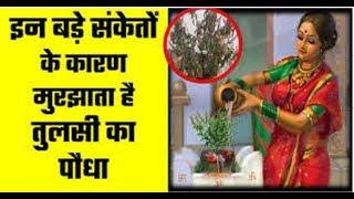 Tulsi plant   तुलसी से जुड़ी 4 मान्यताएं, परिवार पर विपत्ति आए तो सूख जाता है तुलसी का पौधा!