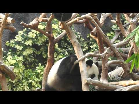 Macau Giant Panda Pavilion - Hoi Hoi