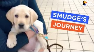 A Guide Dog's Life: Smudge's Journey Ep. 7 | The Dodo thumbnail